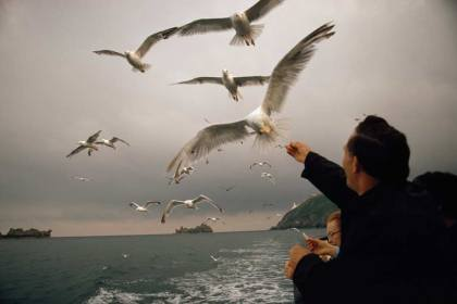 Gulls take food from travelers on a passenger boat off the Channel Islands, Great Britain, May 1971.